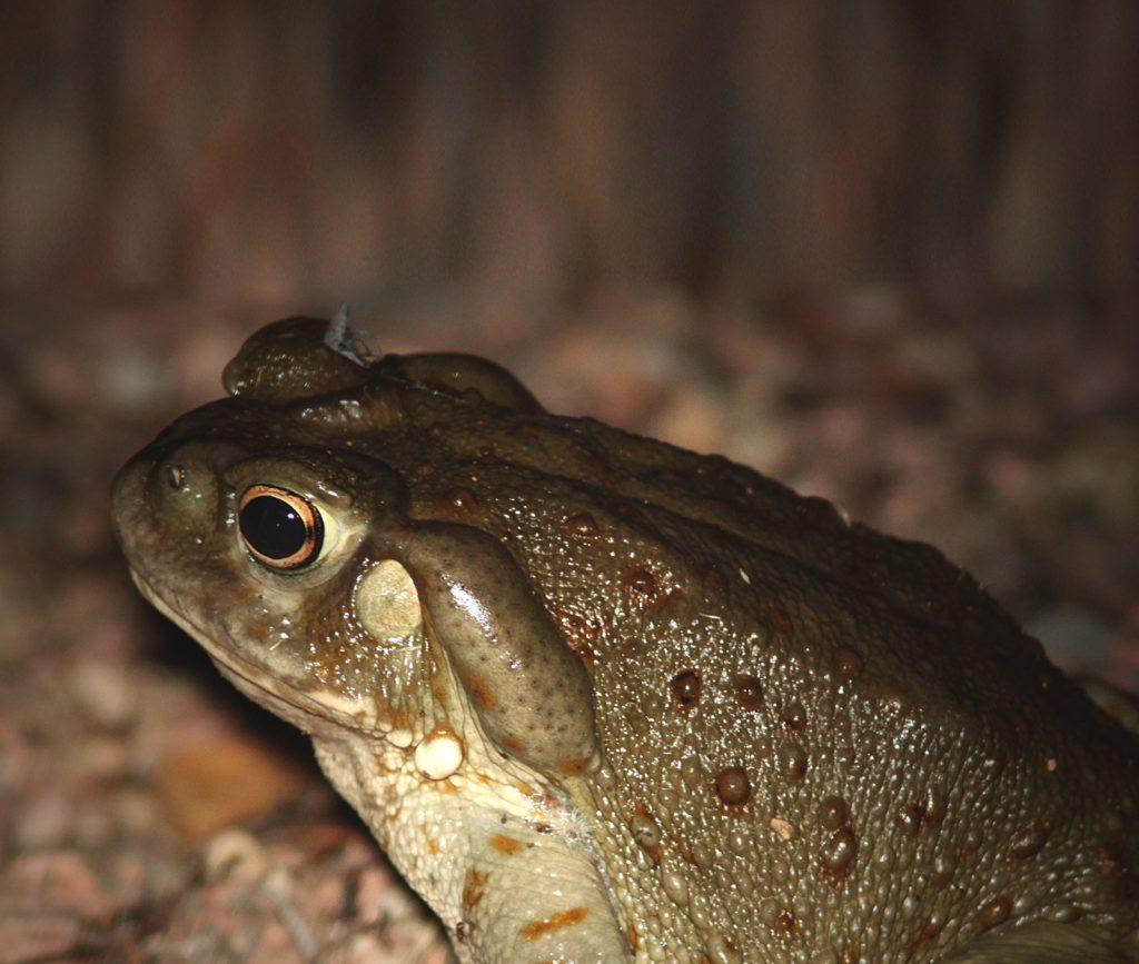 Bufo alvarius ICEERS PsychePlants bufotenin 5-MeO-DMT toad Sonora desert