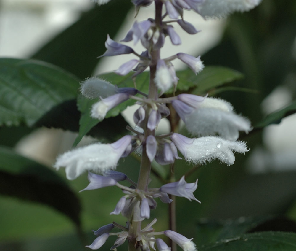 Salvia divinorum flower salvinorin ICEERS PsychePlants sage of the diviners ska pastora seer's sage