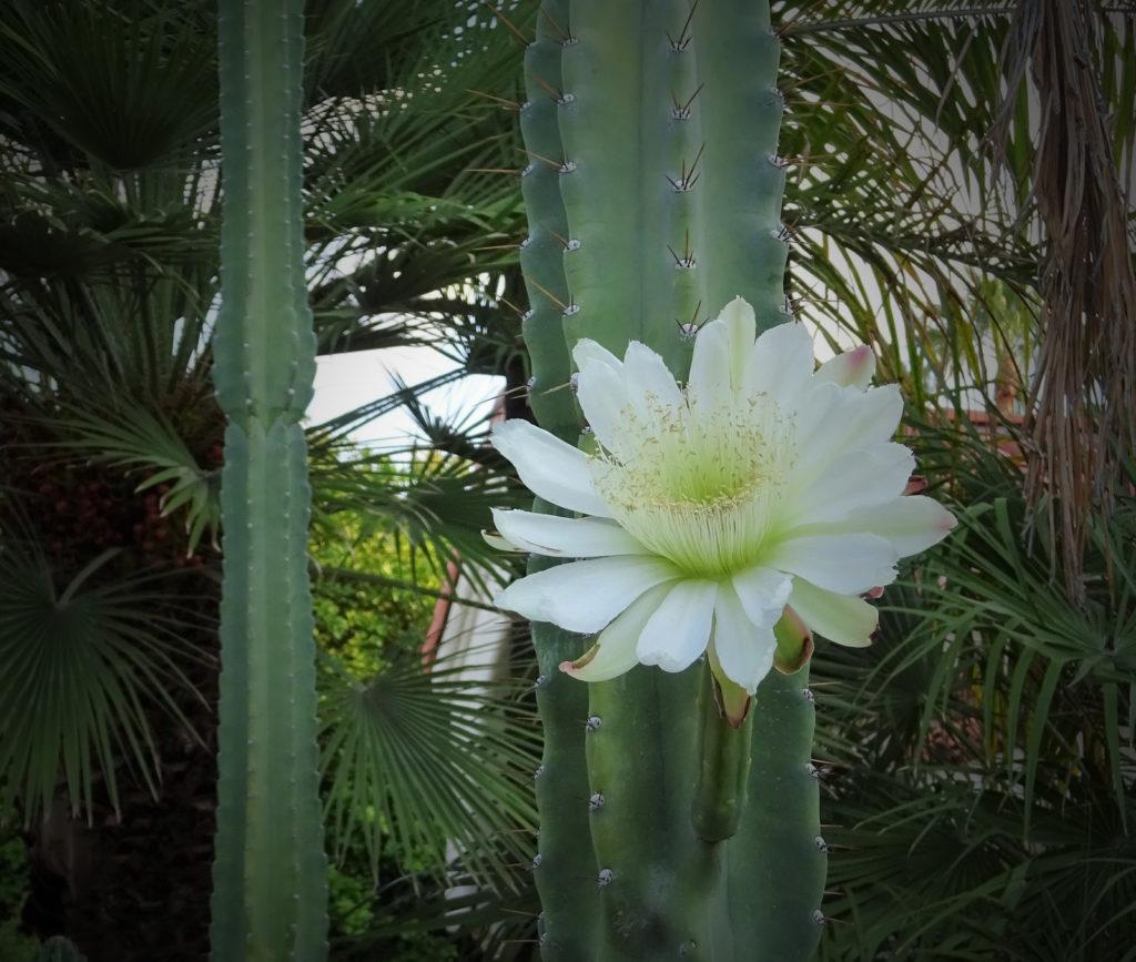 San Pedro cactus flor mescalina ICEERS PsychePlants