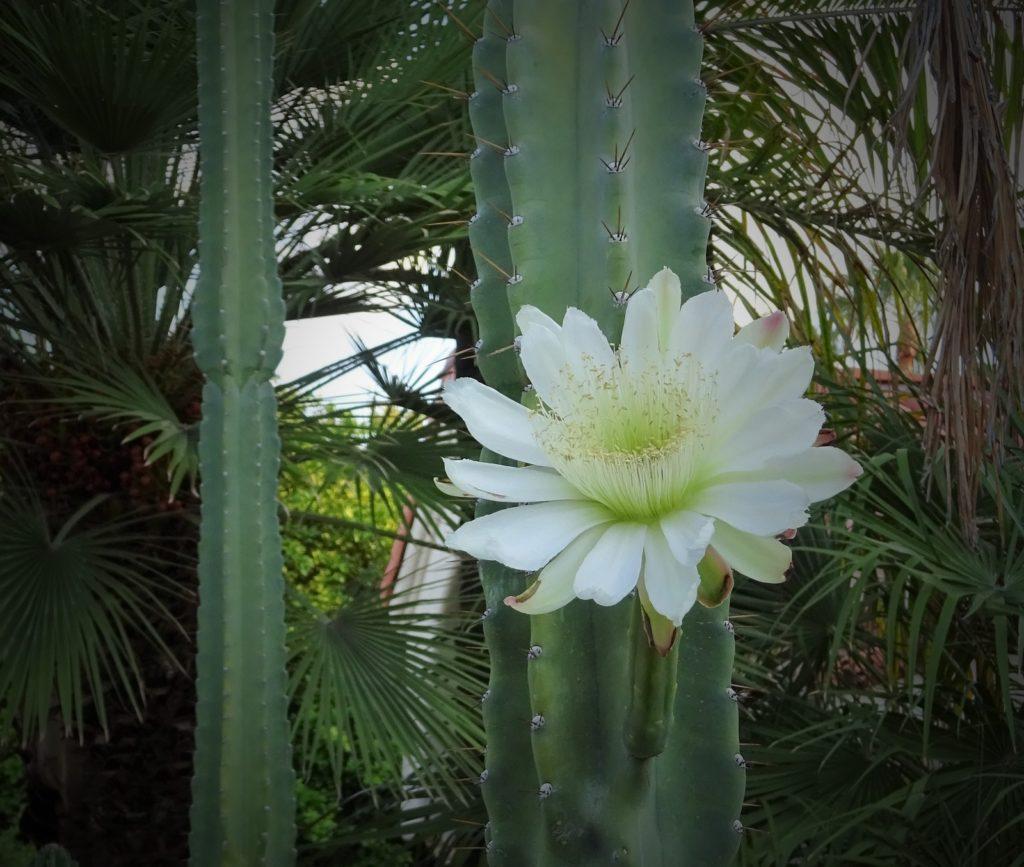 San Pedro cactus mescaline Echinopsis pachanoi Trichocereus peruvian ICEERS PsychePlants flower