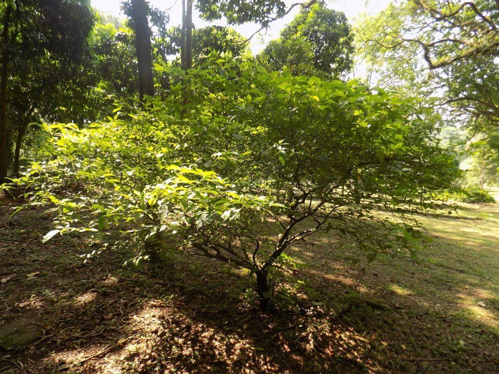 Tabernanthe iboga ibogaine effects tree ICEERS