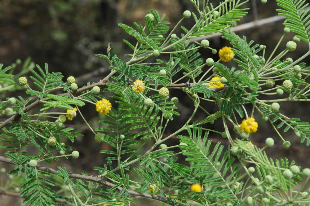 plantas psicoactivas Acacia aroma