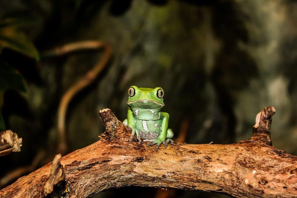 Kambo remedy Phyllomedusa bicolor toad sapo ICEERS PsychePlants