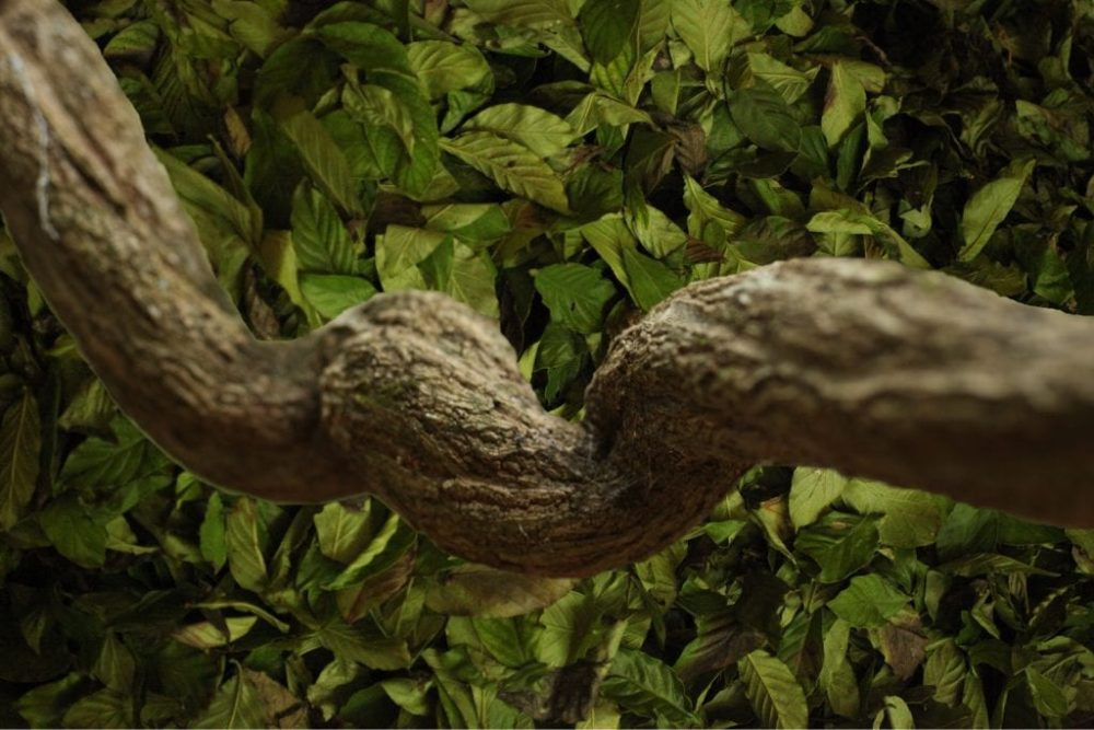 ayahuasca sin DMT purgahuasca liana vid Banisteriopsis caapi
