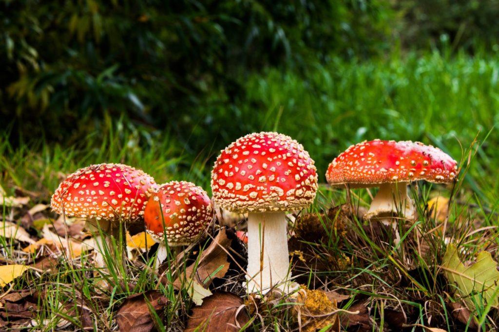 natural psychoactive drugs (NPDs) Amanita muscaria fly agaric mushroom ICEERS PsychePlants