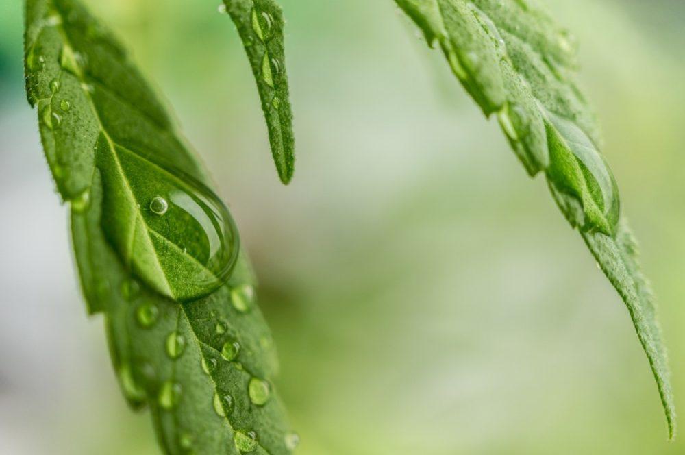 quality of life cannabis users chronic disease study ICEERS