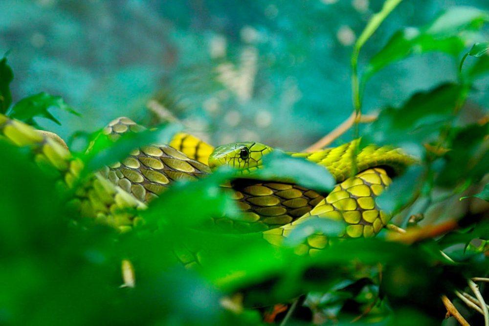 serpiente venenosa ayahuasca neurotóxica ICEERS